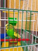 продам волнистых попугаев