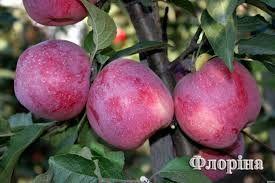 Саженцы яблони груши сливы абрикоса\Саджанці яблуні груші сливи