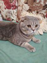 Вязка шотланського висловухого кота