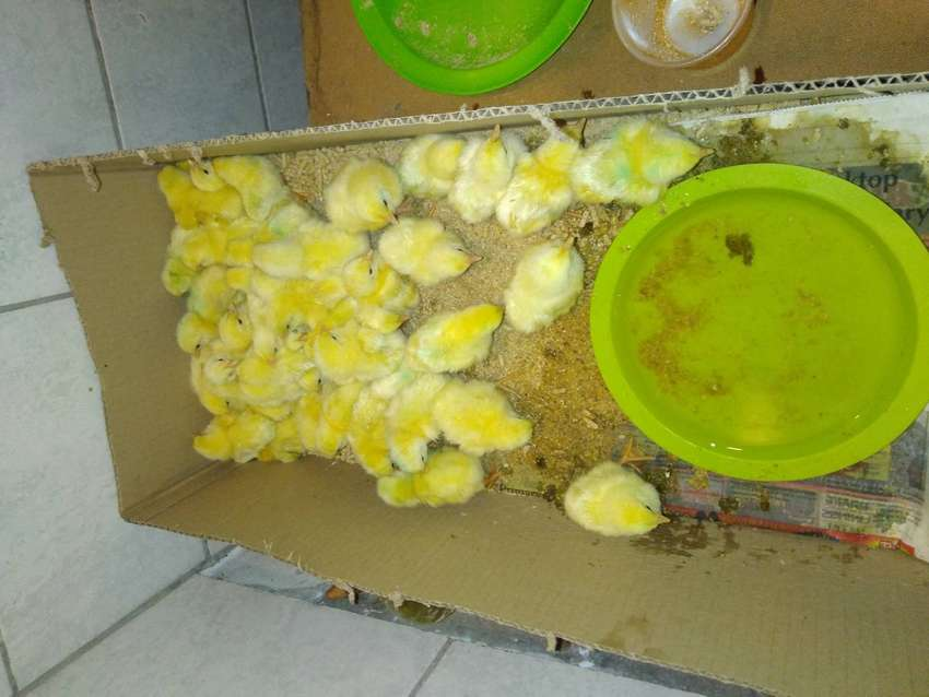 Broiler chickens for sale in durban
