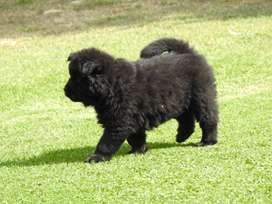 Beautiful Chow puppies for sale