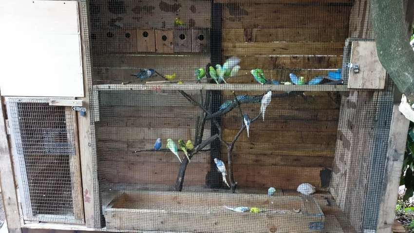 Budgies and lovebirds 0