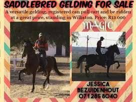 A Versatile Saddlebred Gelding and Cart Horse