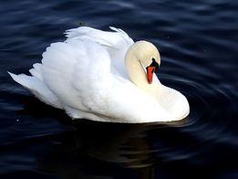 Самка лебедя белого