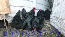 Инкубационное яйцо цыплята кохинхин чёрный чистокровный запись 2019год