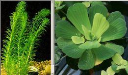 Элодея и Пистия - аквариумные растения
