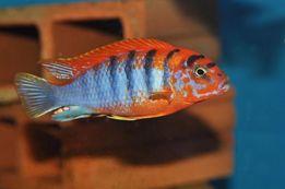 Аквариумные рыбки Цихлиды Малави