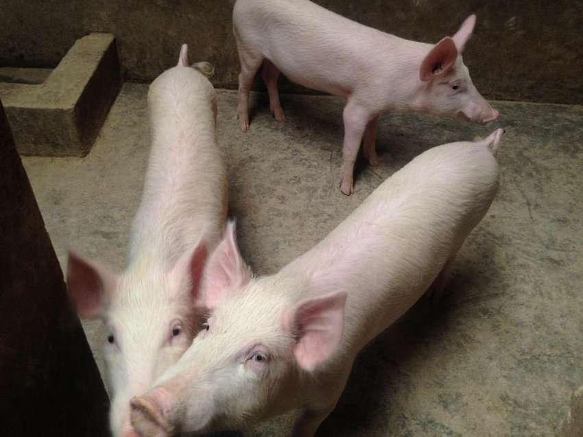 Pigs and piglets for sale 0