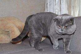 Котик скотиш страйт ждёт свидание с вислоухими и прямоухими кошками