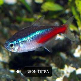 Tetras tropical fish