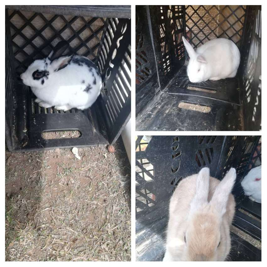 Rabbits for sale 0