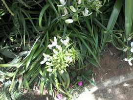 White Lilly garden plants