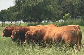 Limousins from R20k