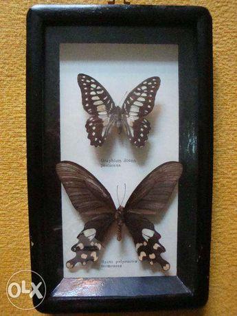 Kolekcja motyli Attacus Atlas 1 szt Urania leilus 1 szt i inne Brzeg - image 3