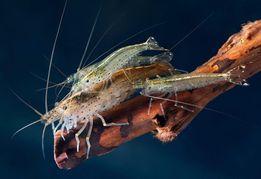 Креветка Амано (Caridina multidentata), лучший борец с водорослями!