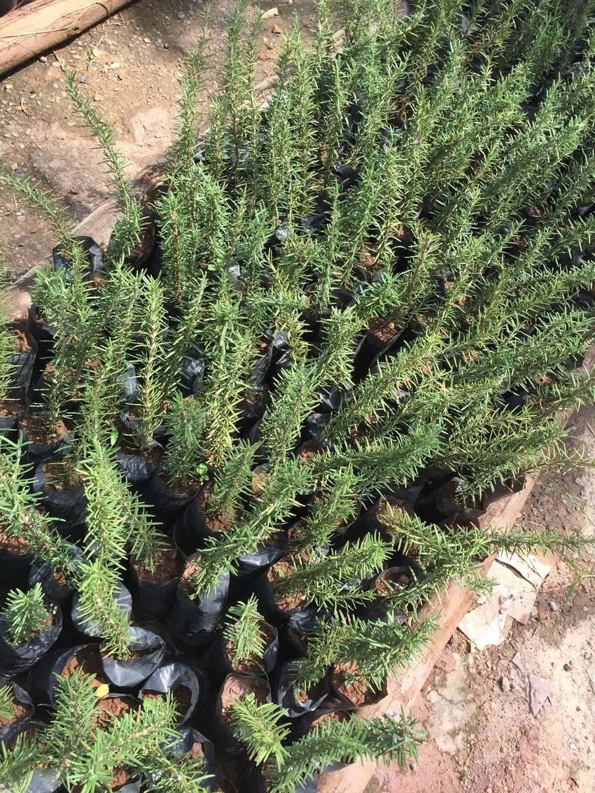 ROSEMARY SEEDLINGS at ugx1,500 each. 0