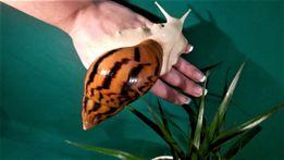 Rekordzista wśród ślimaków Achatina A. (Tiger) Albino