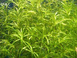 GB Najas Guadalupensis roślina akwariowa