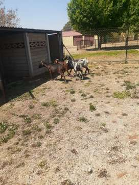 4 x goats for sale