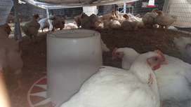 Brioler Meat Chickens for sale