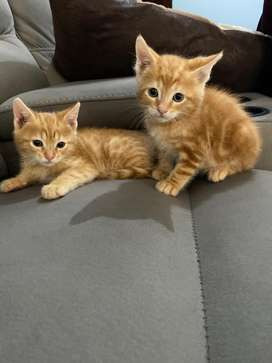 Adorable bengal/maine coon cross kittens
