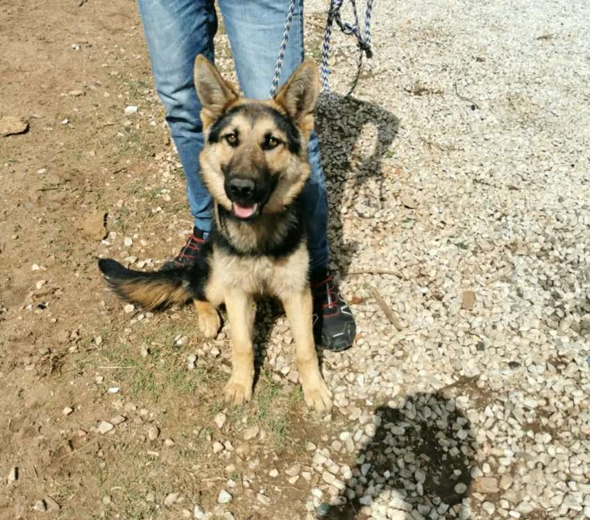 GERMAN SHEPHERD PUPPY FOR SELL 0