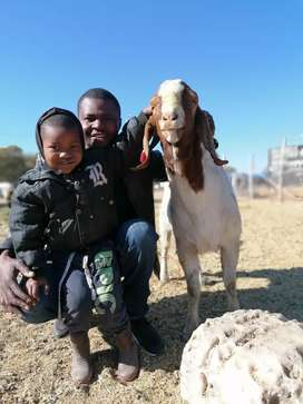 Goats and Sheep for sale in Pretoria region