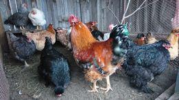 Инкубационное яйцо/цыплята от домашних племенных кур.Запись на 2019год