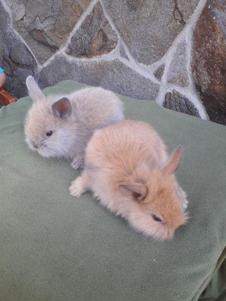 Декоративні кролики, карликові кролики