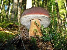 Мицелий белых грибов - настоящий мицелий напрямую из лаборатории!