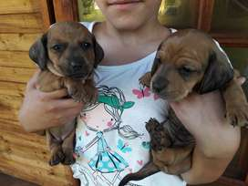 Dushhound Puppies