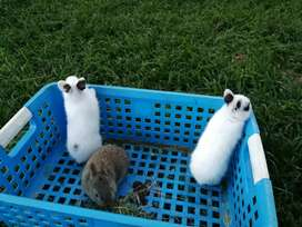 Dwarf rabbits for sale