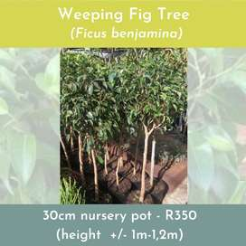 Fig tree for indoor plants