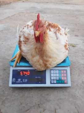 Full Chickens available