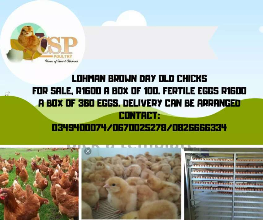 Day old chicks and fertile eggs 0