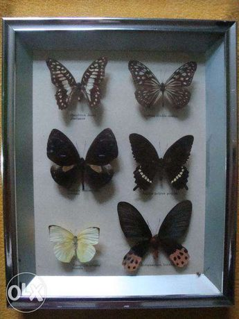 Kolekcja motyli Attacus Atlas 1 szt Urania leilus 1 szt i inne Brzeg - image 6