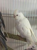 Попугай безщекая корелла, разные окрасы