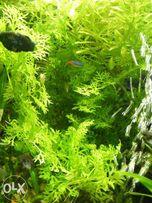 GB Paproć / limnobium /pistia rośliny pływające