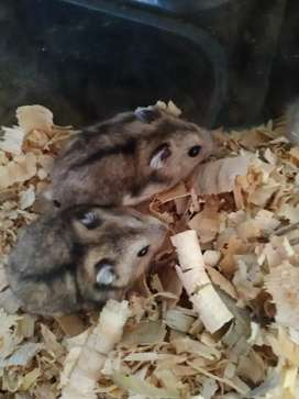 Baby dwarf hamsters for sale!
