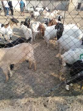 Goats, Sheep, Chickens and Cows for sale