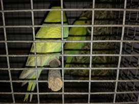 Hand Reared Budgie