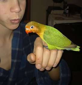 Hand tame young lovebirds