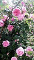 Продам варенье из лепестков чайной розы.