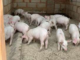 12 Healthy Piglets