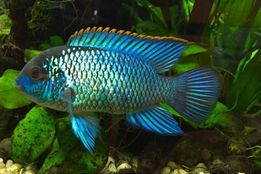 Нанакара блу неон (Nannacara Neon Blue hybrid)