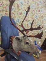 Продам голова оленя с рогами на медальоне