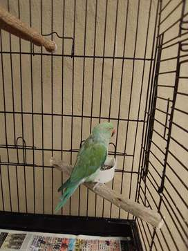 Pied ringneck for sale