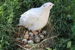 Инкубационное яйцо перепелов Техасец белый , яйцо крупное 2,5 грн/ шт