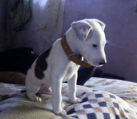Beautiful Jack Russell cross