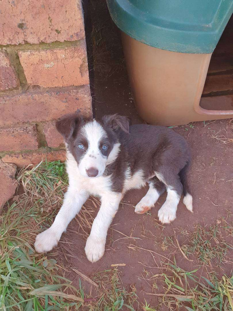 Border Collie puppy brown and white 0